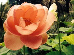 LOTUS-BLÜTE !i Teichpflanze Uferzone ähnelt unserer Seerose. Wasserpflanze i
